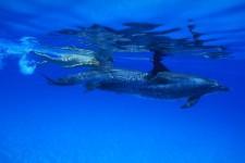 dolphinswim3