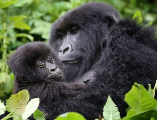 Great Apes, unique wildlife and Rainforests in Uganda