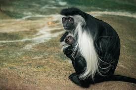 white colobus monkeys